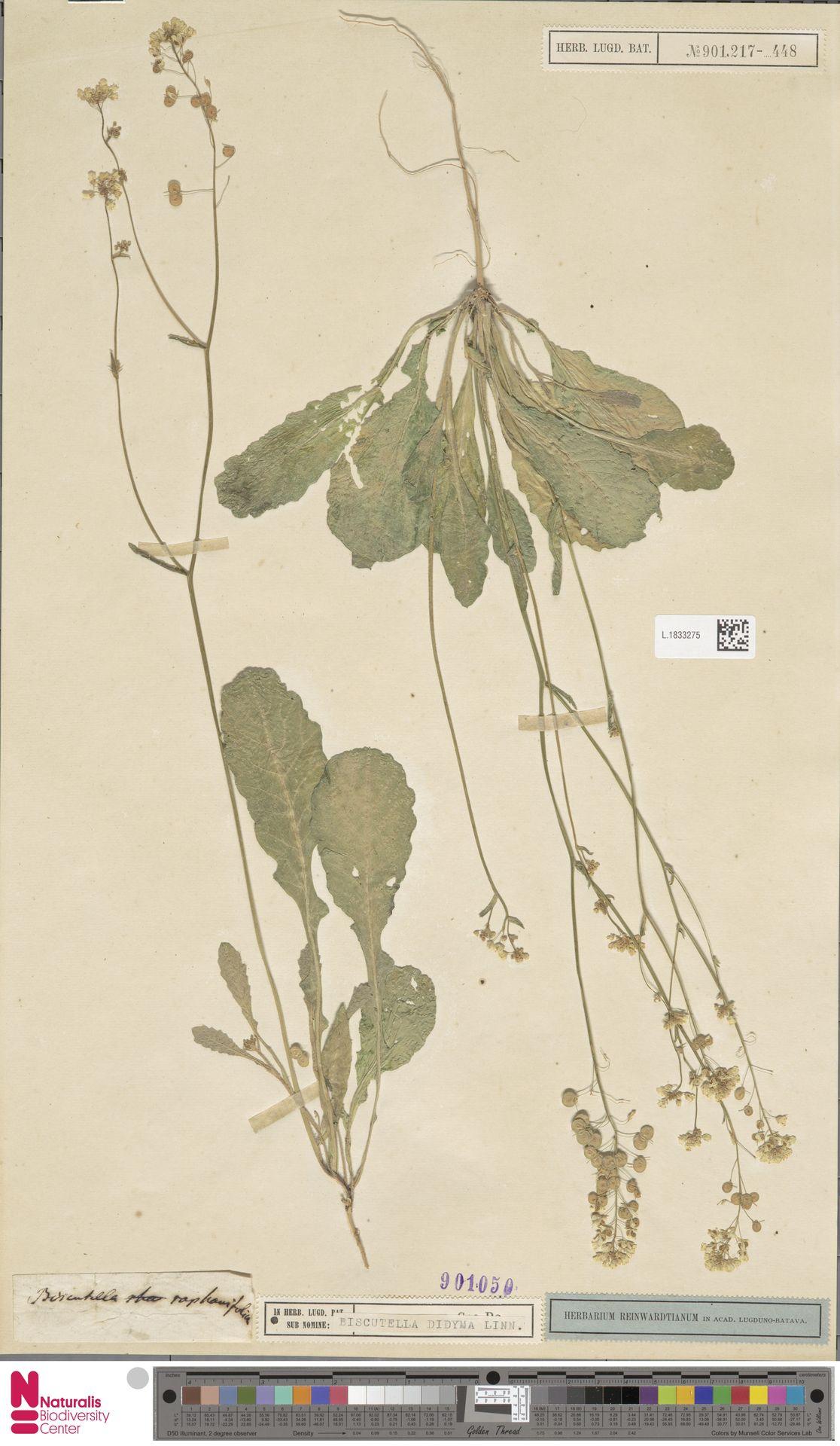 L.1833275 | Biscutella didyma L.