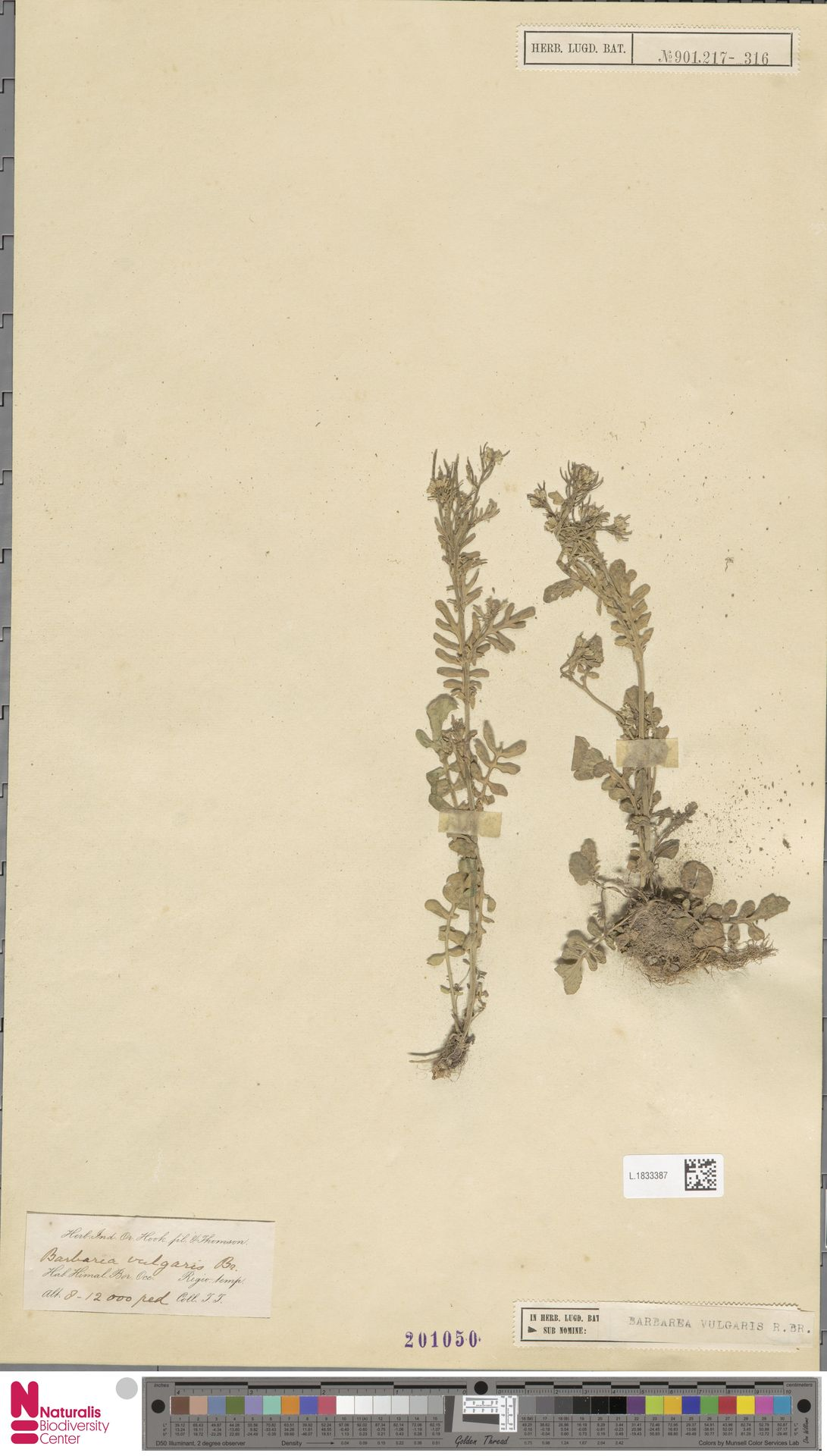 L.1833387   Barbarea vulgaris R.Br.