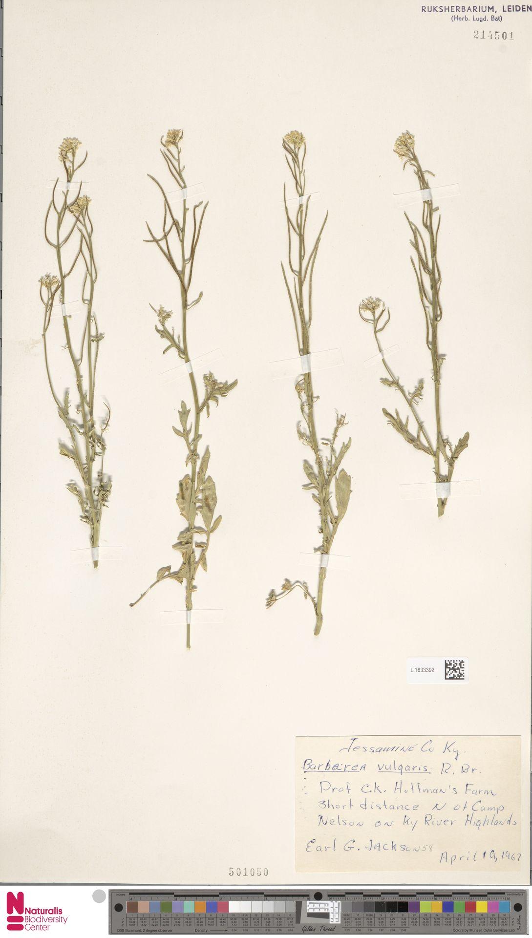 L.1833392 | Barbarea vulgaris R.Br.