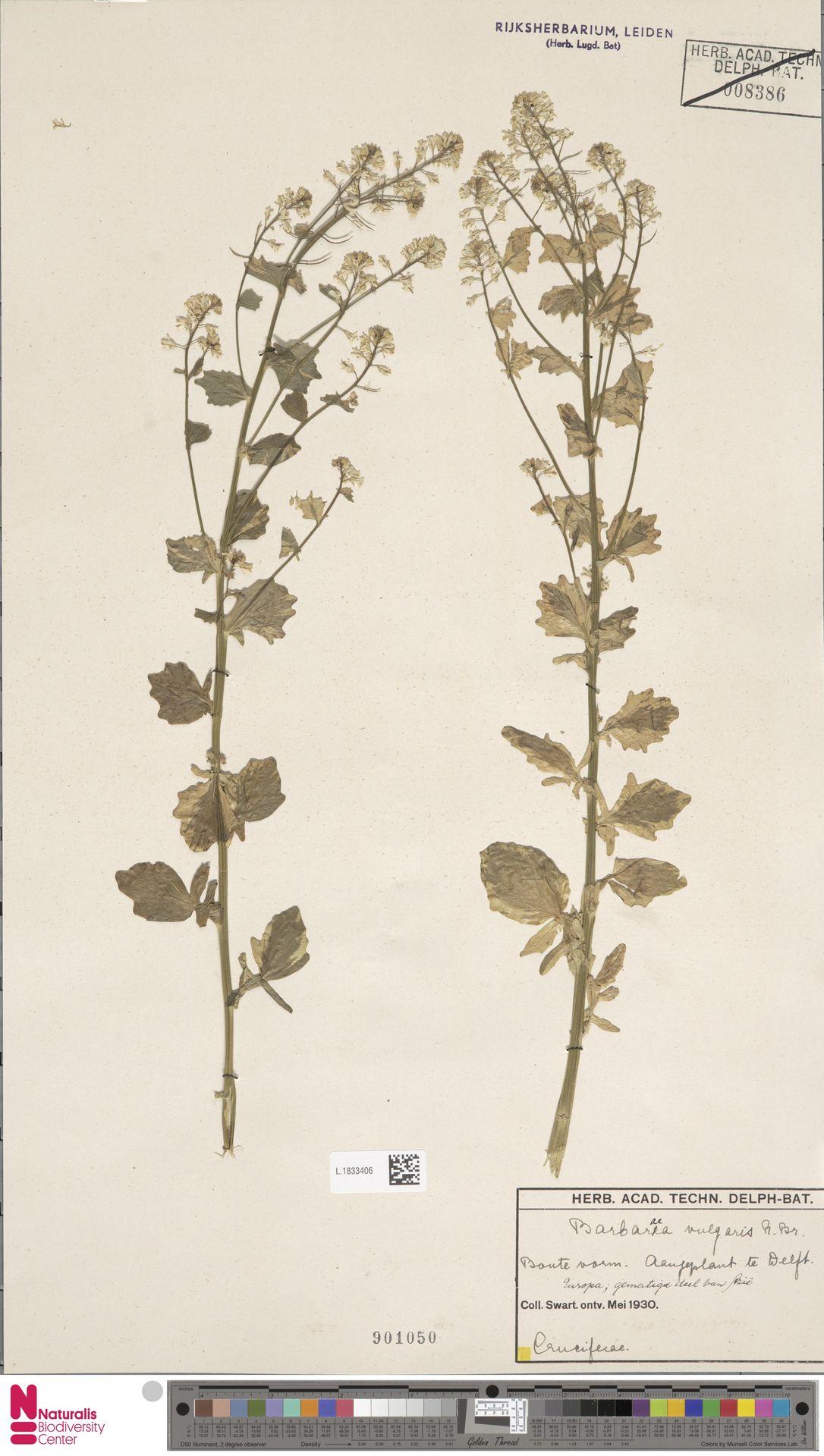 L.1833406 | Barbarea vulgaris R.Br.