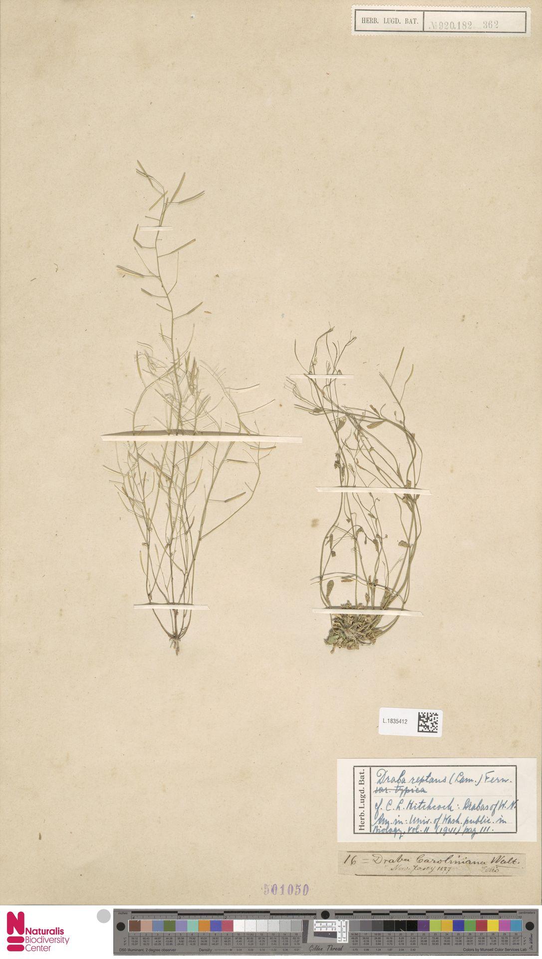 L.1835412   Draba reptans (Lam.) Fernald