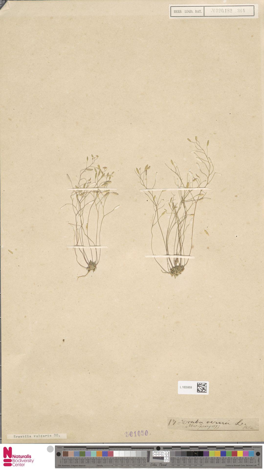 L.1835959 | Erophila vulgaris DC.