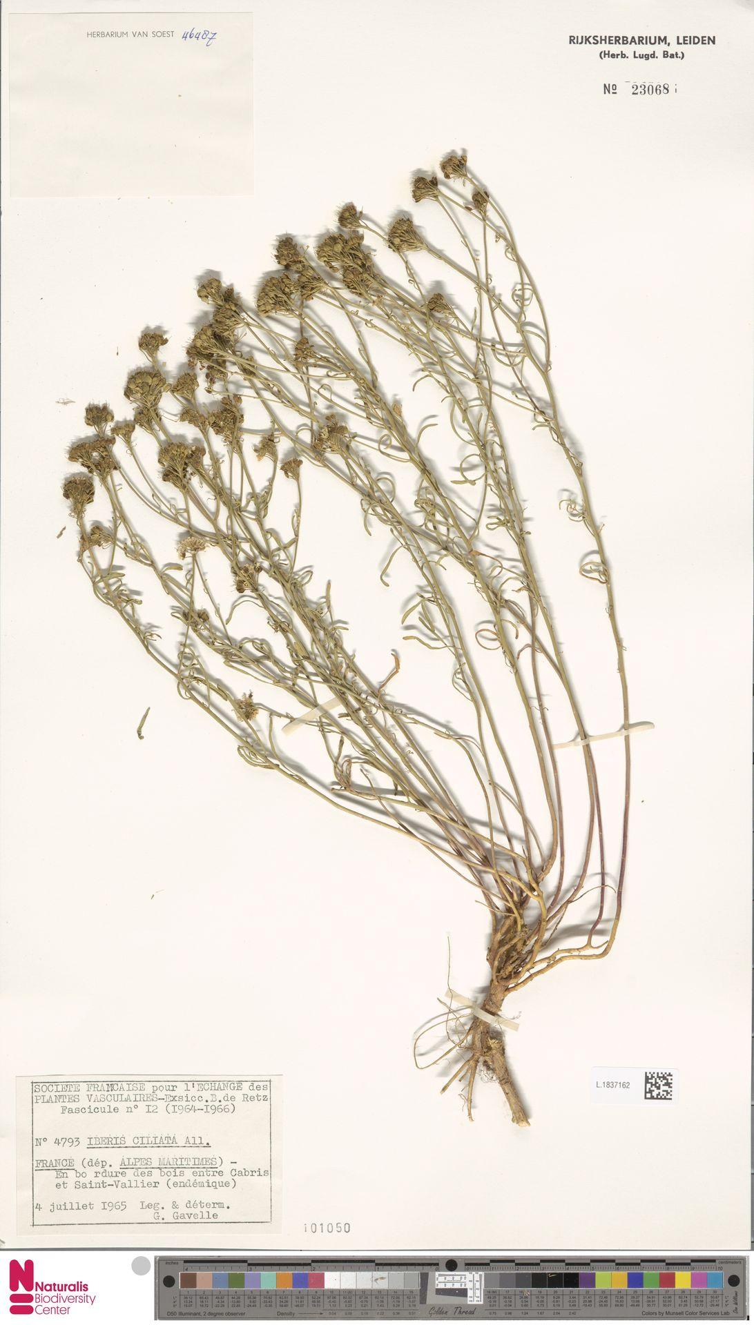 L.1837162 | Iberis ciliata All.