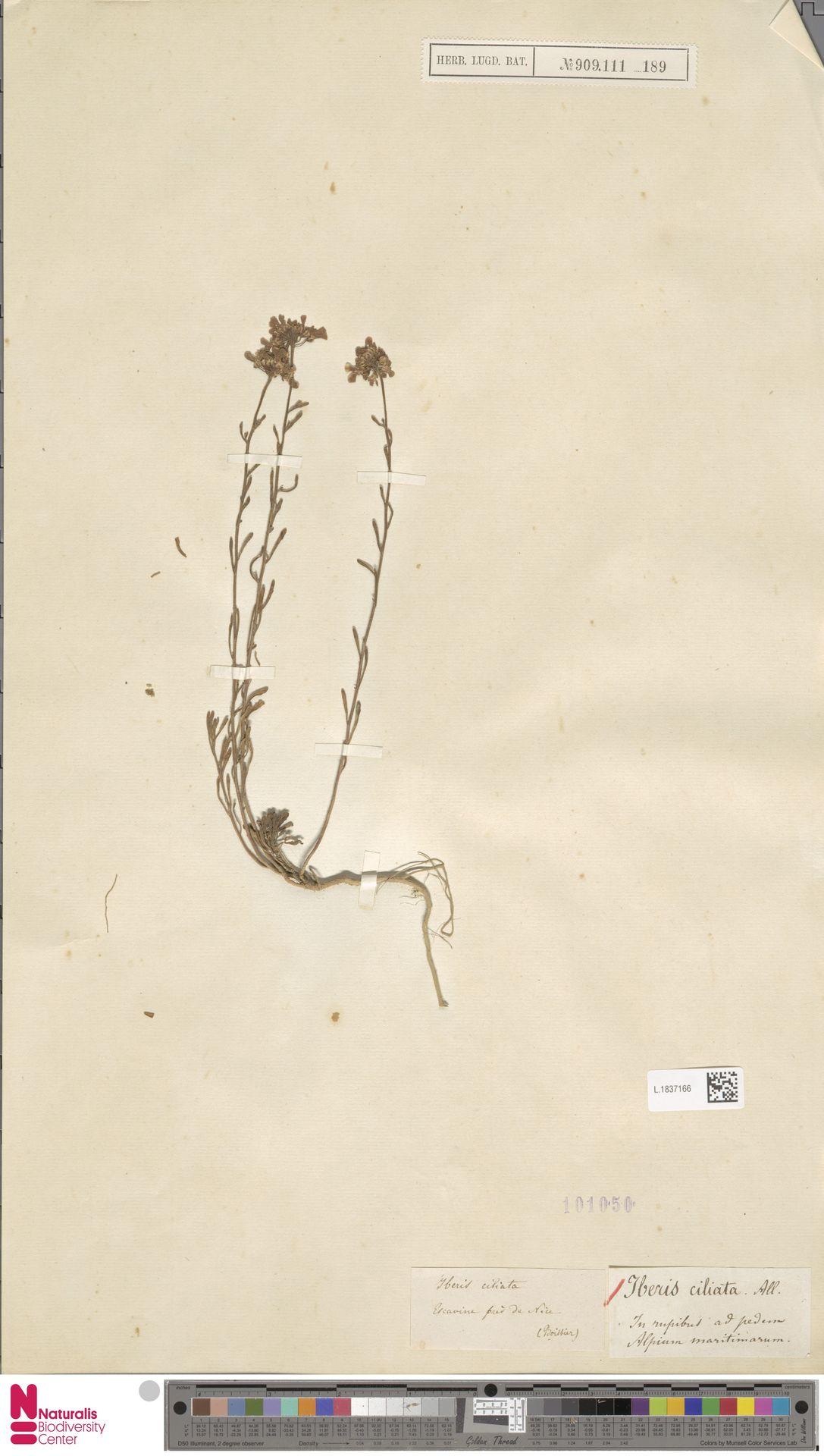 L.1837166 | Iberis ciliata All.