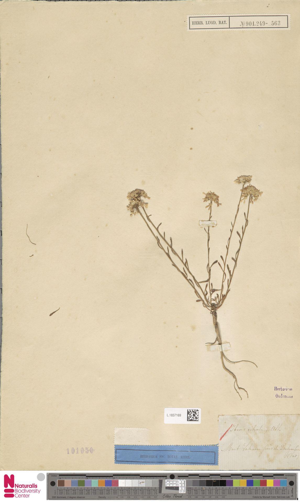 L.1837169   Iberis ciliata All.