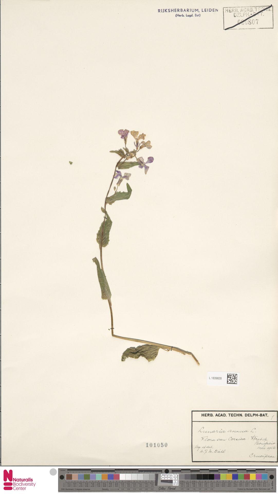 L.1839828 | Lunaria annua L.
