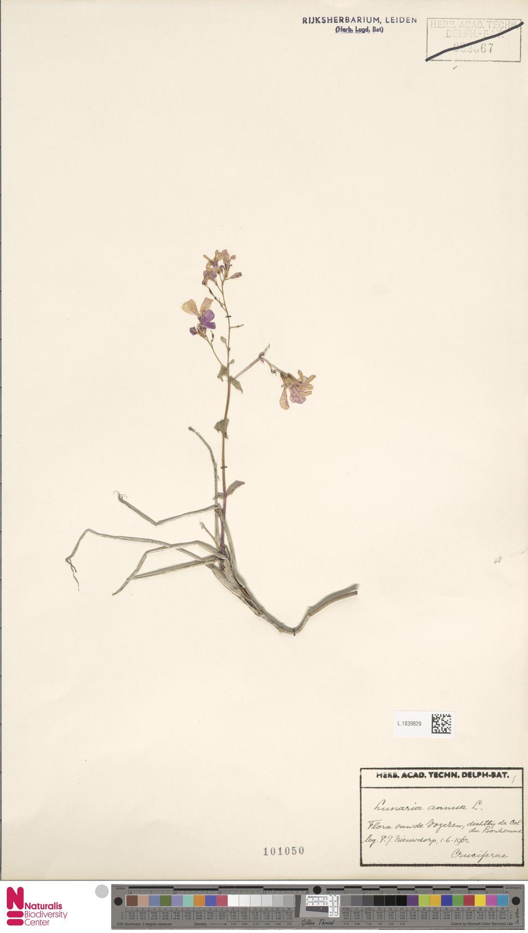 L.1839829 | Lunaria annua L.