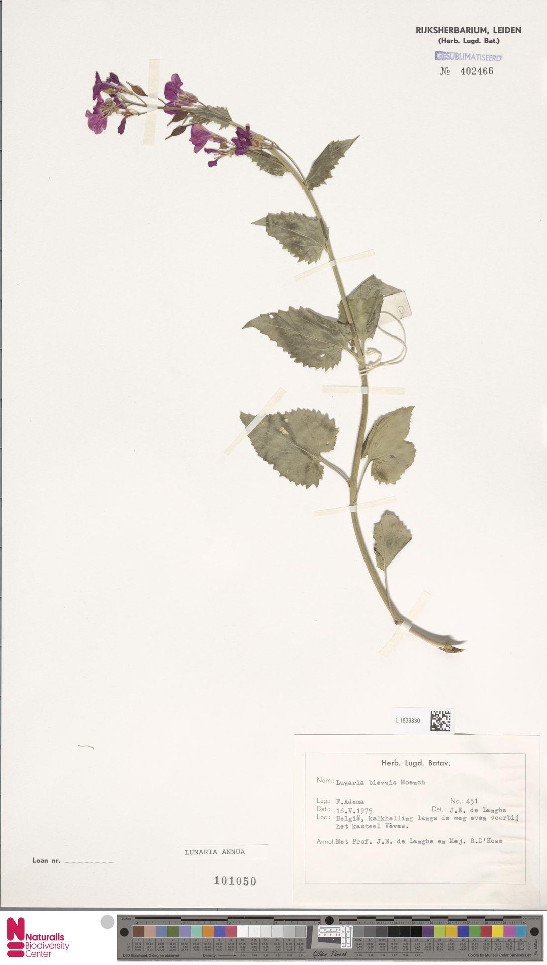 L.1839830 | Lunaria annua L.