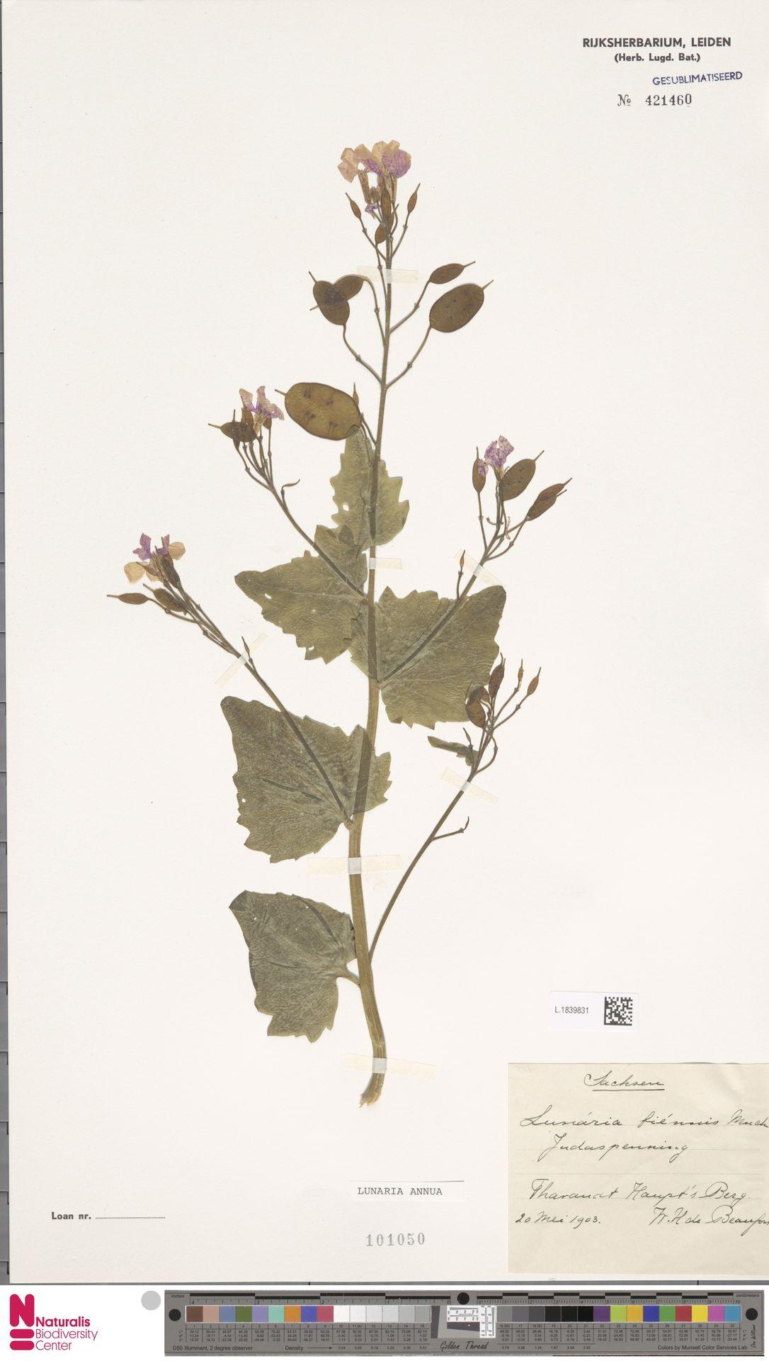 L.1839831   Lunaria annua L.