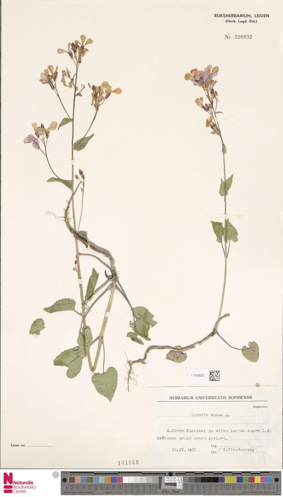 L.1839832 | Lunaria annua L.