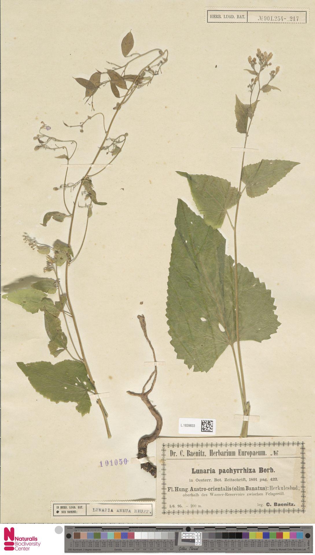 L.1839833 | Lunaria annua L.