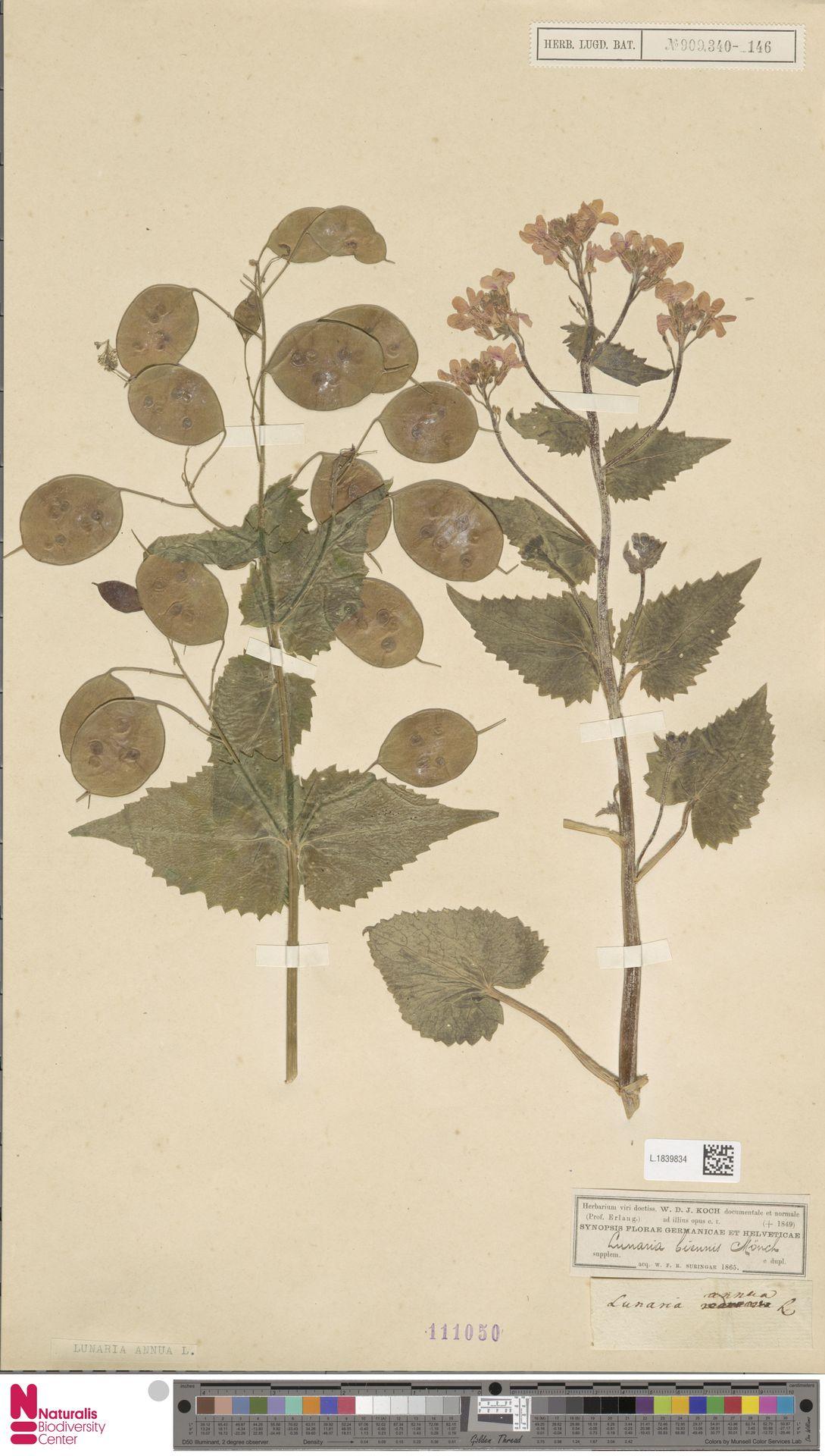 L.1839834 | Lunaria annua L.