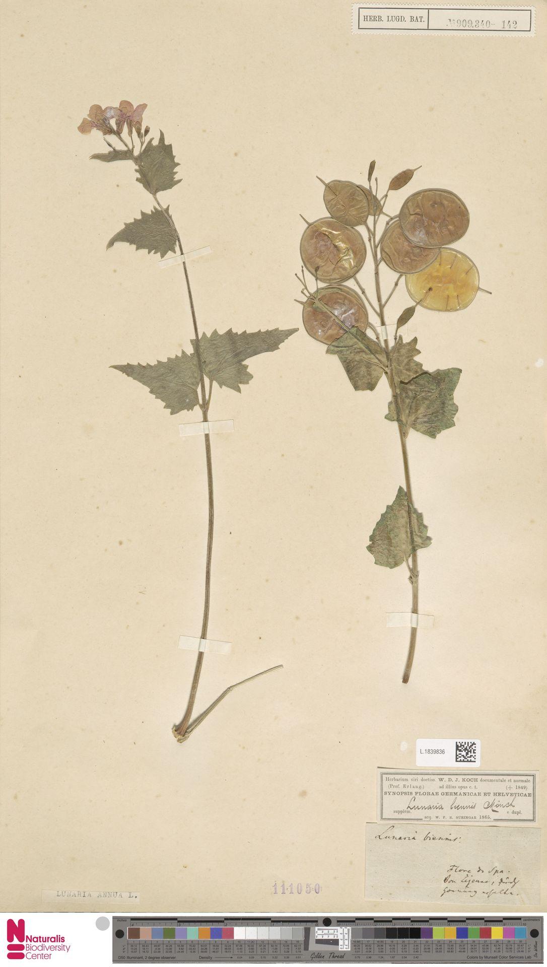 L.1839836 | Lunaria annua L.