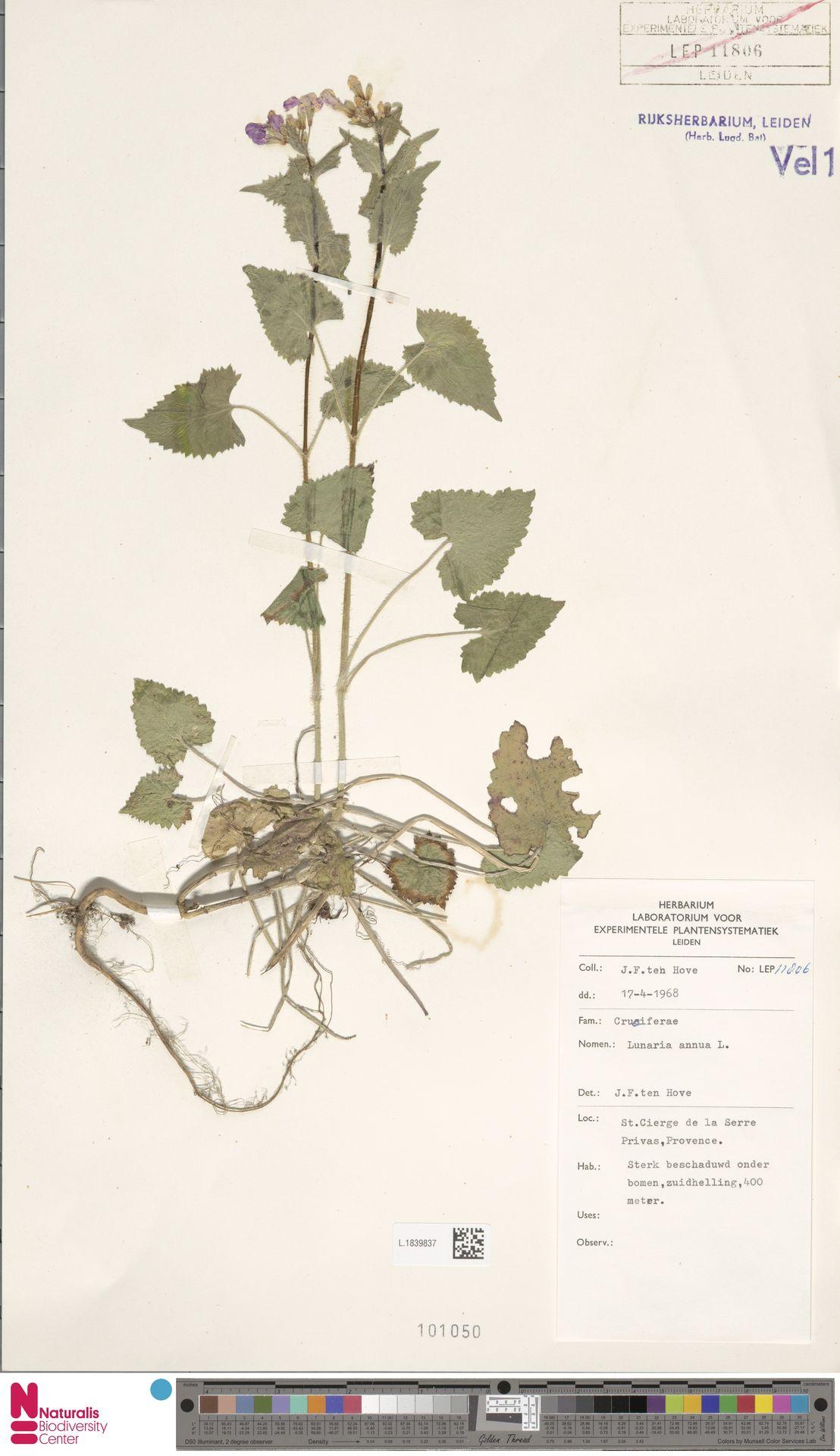 L.1839837 | Lunaria annua L.