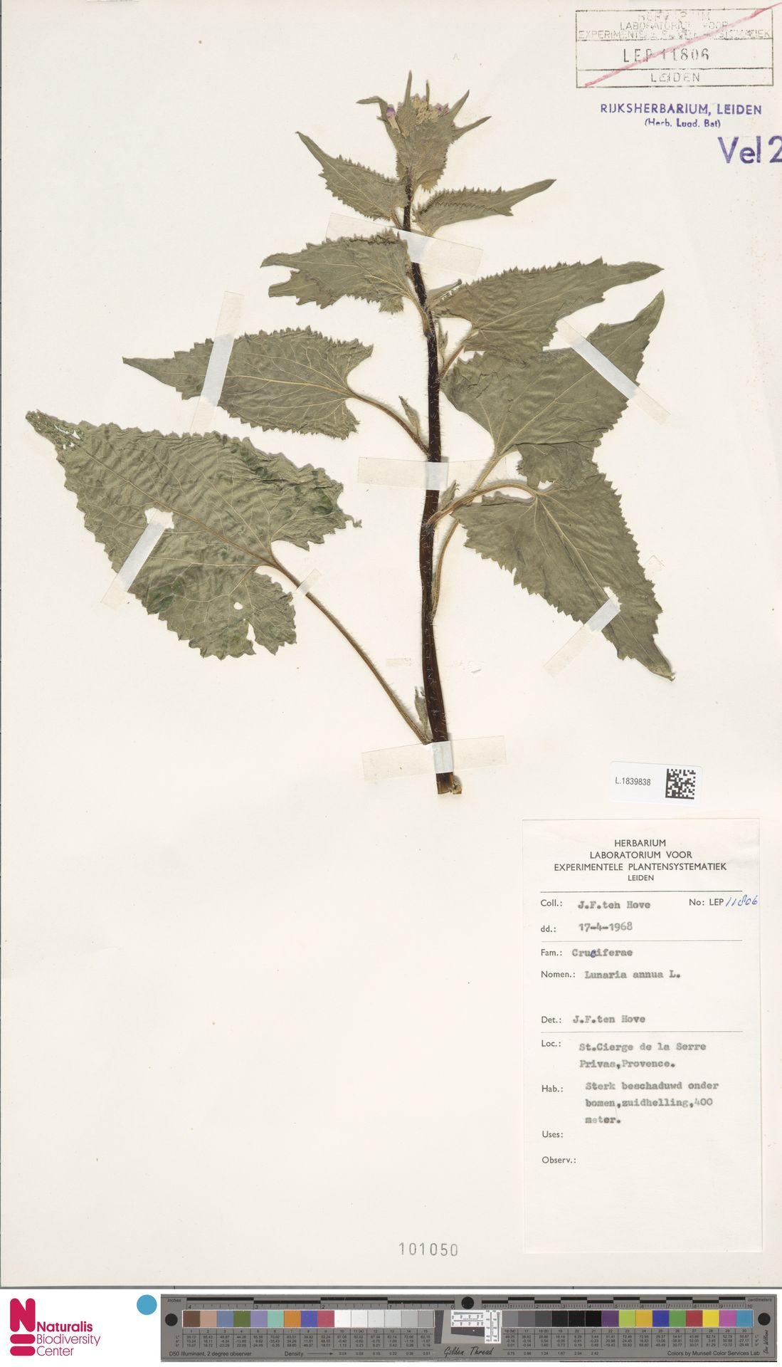 L.1839838 | Lunaria annua L.