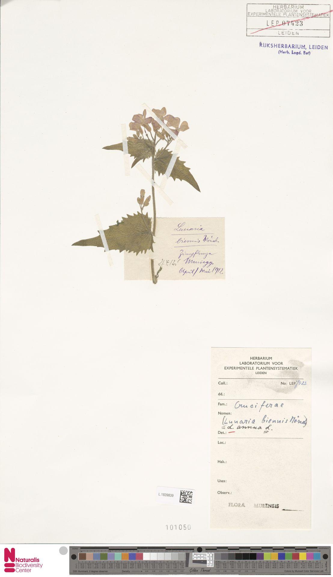 L.1839839 | Lunaria annua L.