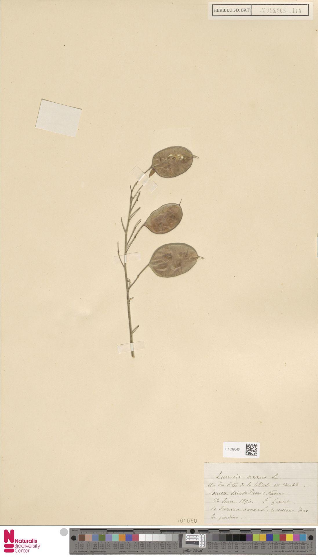 L.1839840 | Lunaria annua L.