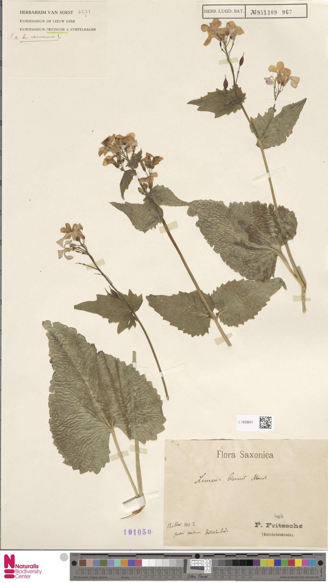 L.1839841 | Lunaria annua L.