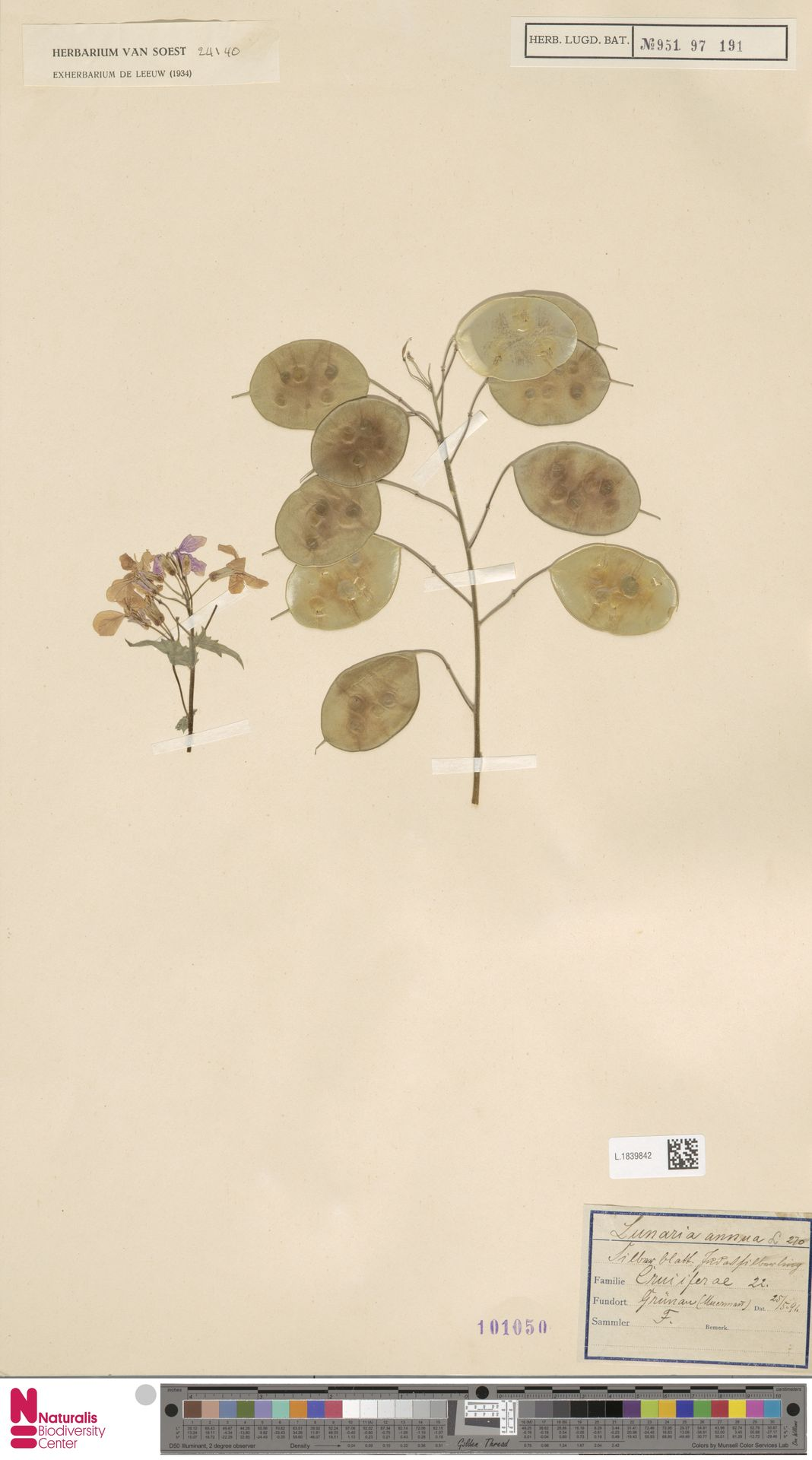 L.1839842 | Lunaria annua L.
