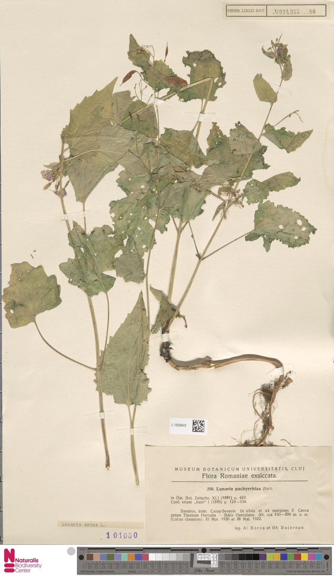 L.1839843 | Lunaria annua L.