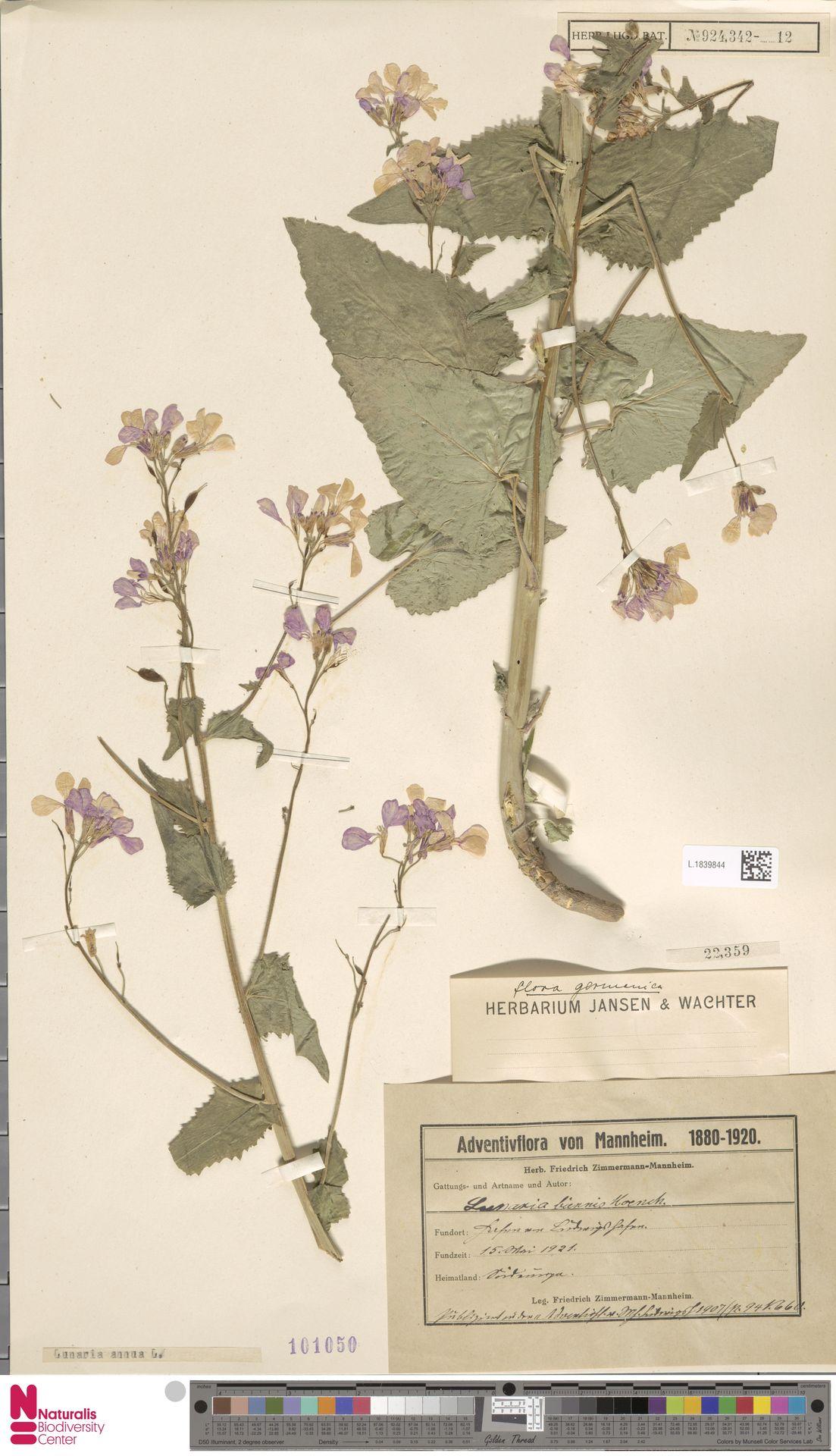 L.1839844 | Lunaria annua L.