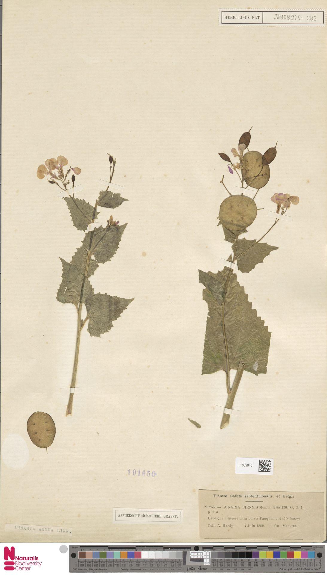 L.1839846 | Lunaria annua L.