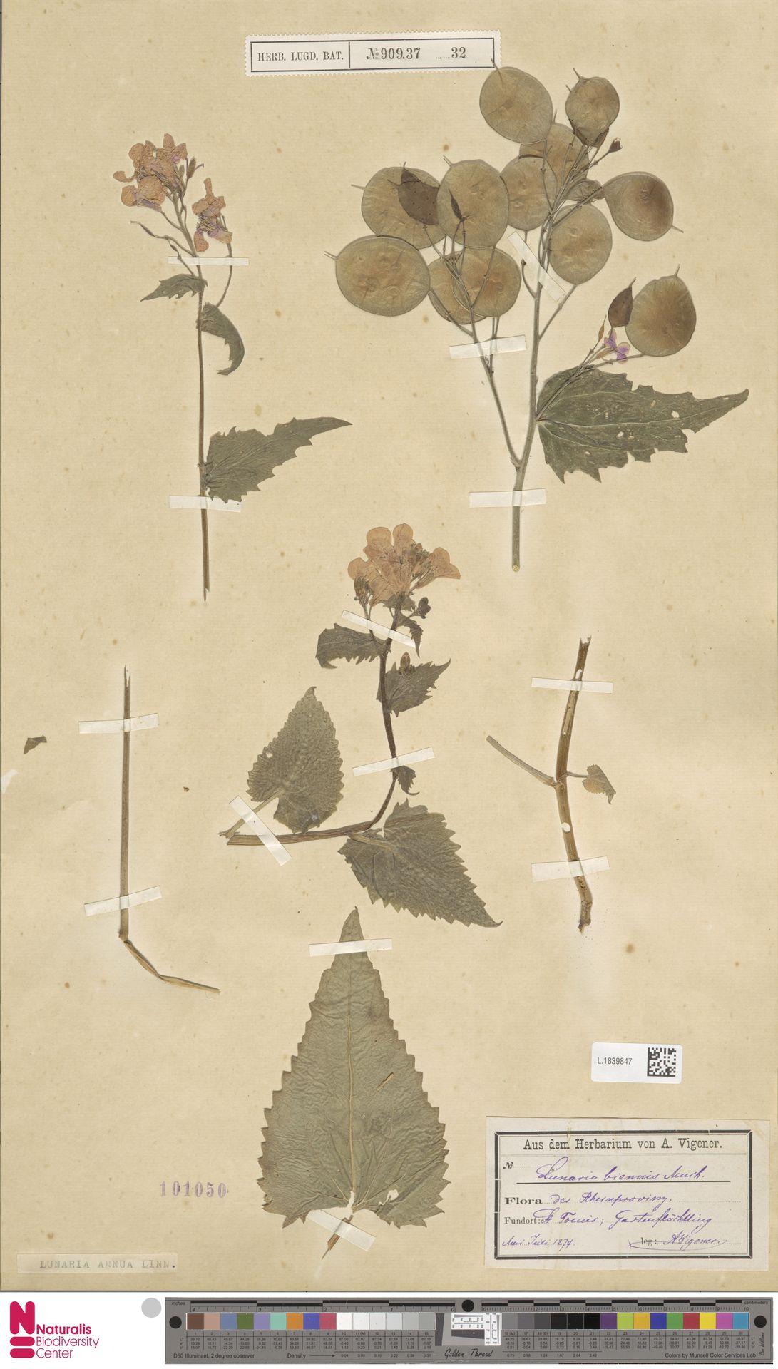 L.1839847 | Lunaria annua L.