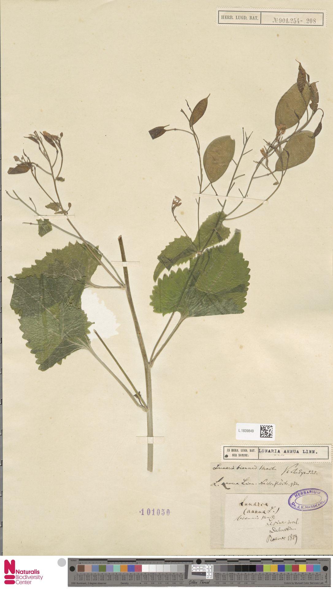 L.1839849 | Lunaria annua L.