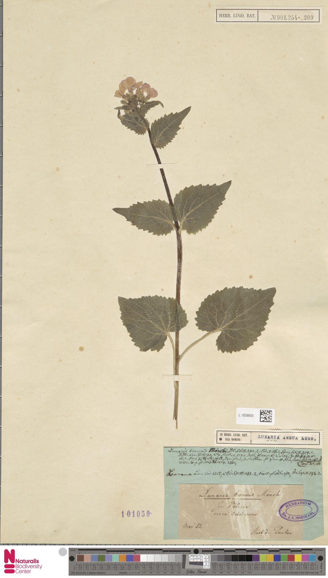 L.1839850 | Lunaria annua L.