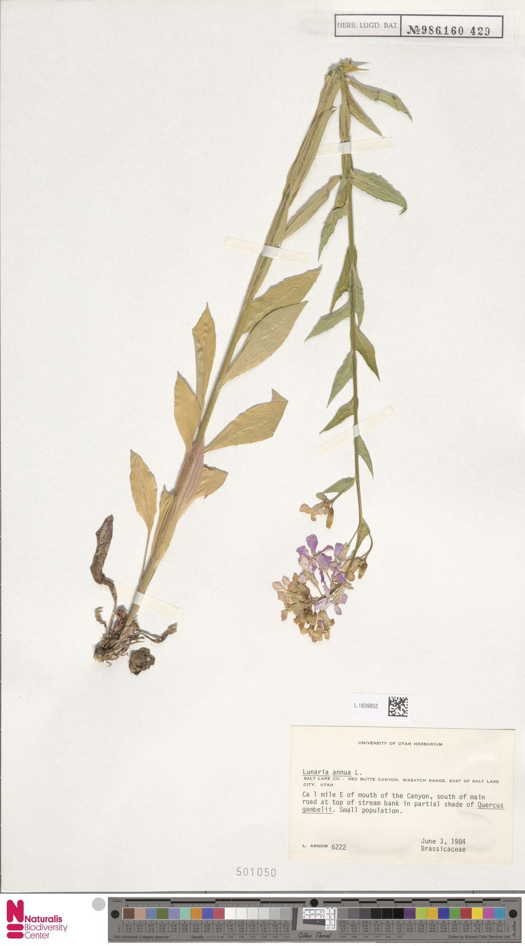 L.1839852 | Lunaria annua L.