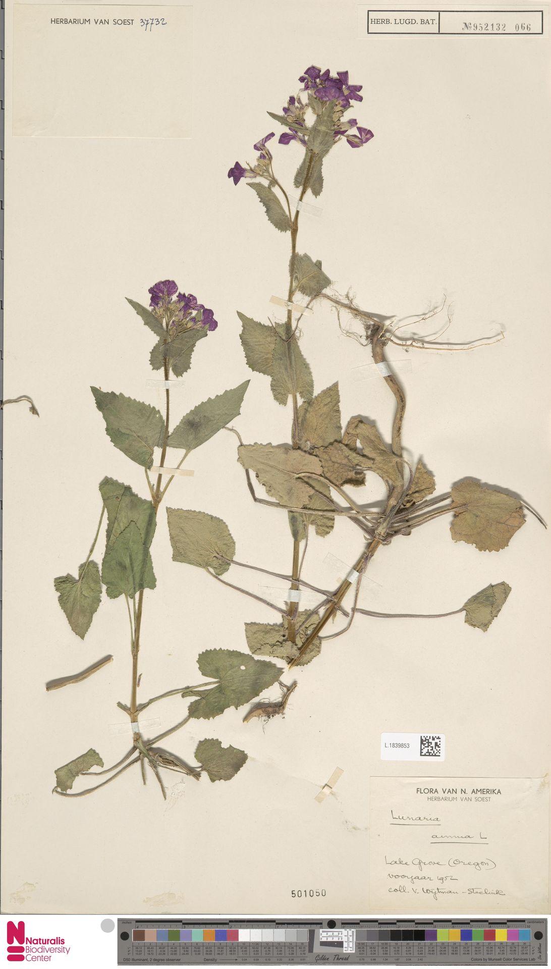 L.1839853 | Lunaria annua L.