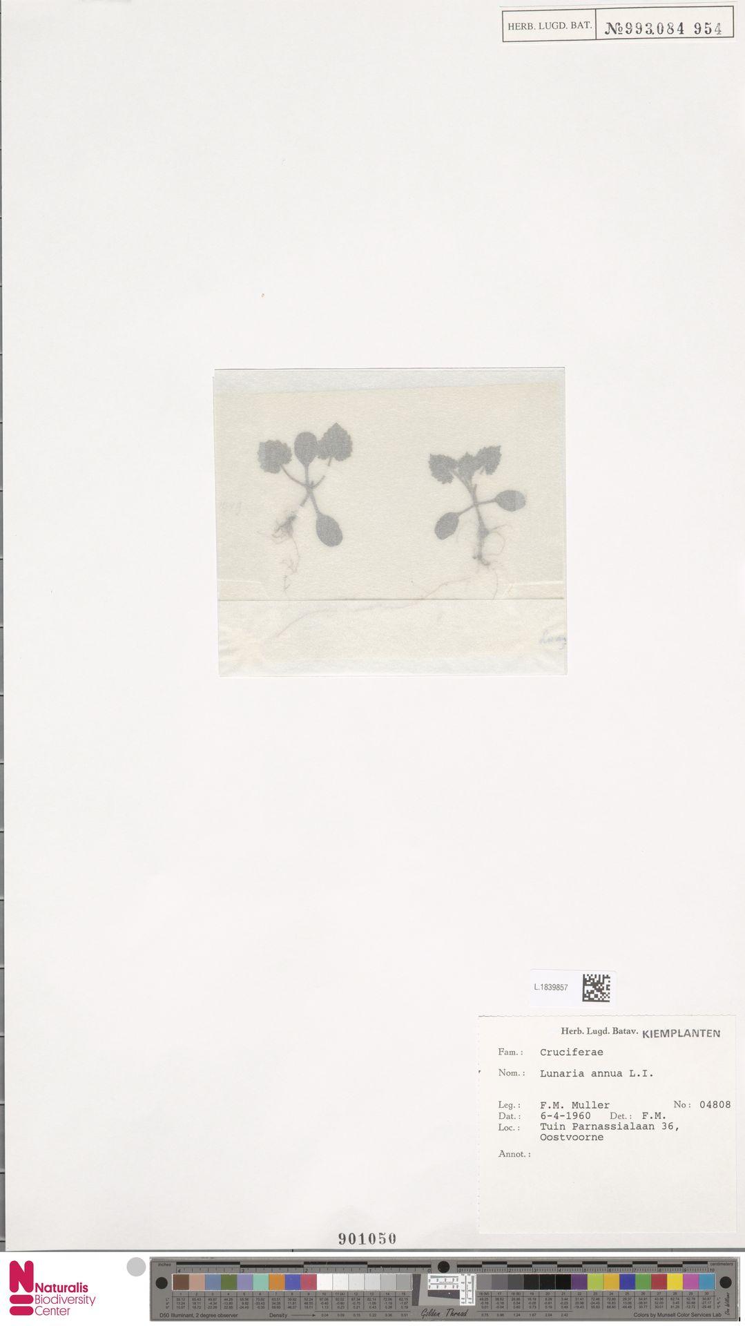 L.1839857 | Lunaria annua L.