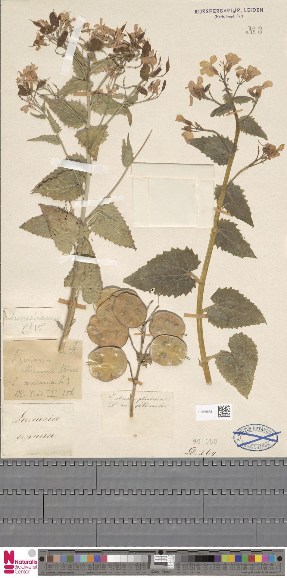 L.1839858 | Lunaria annua L.