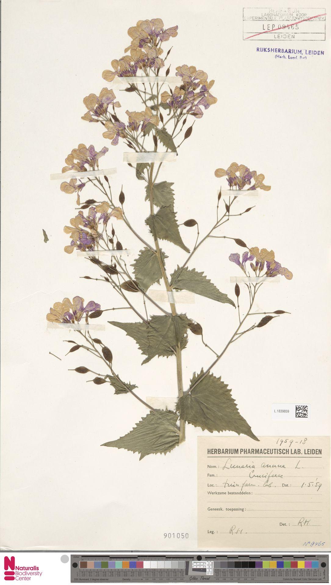 L.1839859 | Lunaria annua L.