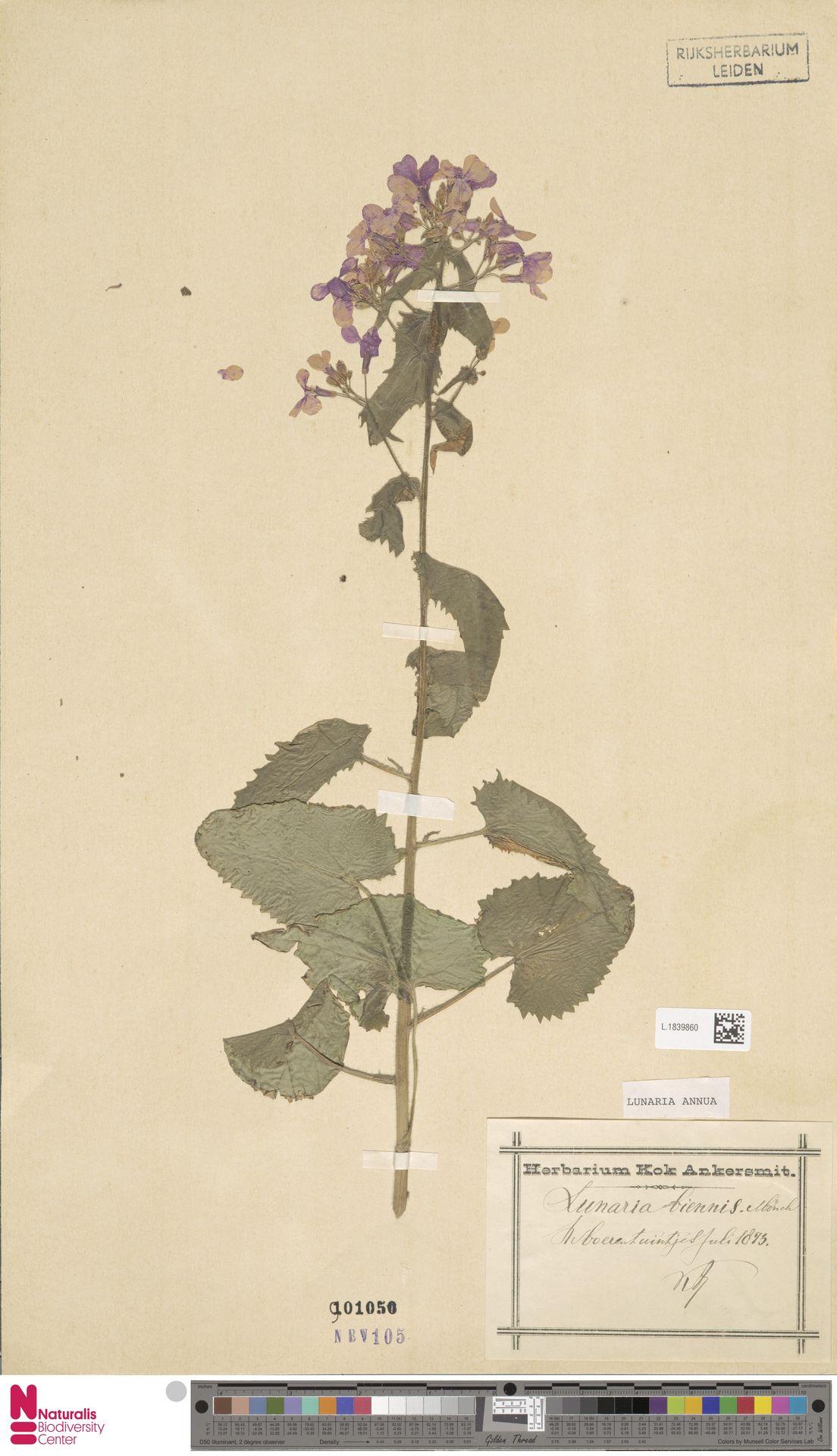 L.1839860 | Lunaria annua L.