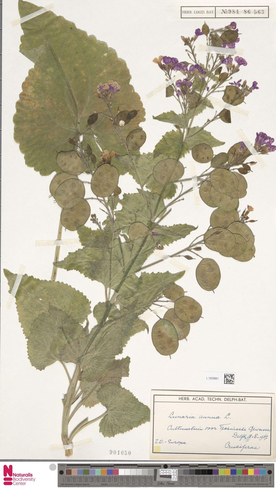 L.1839861 | Lunaria annua L.