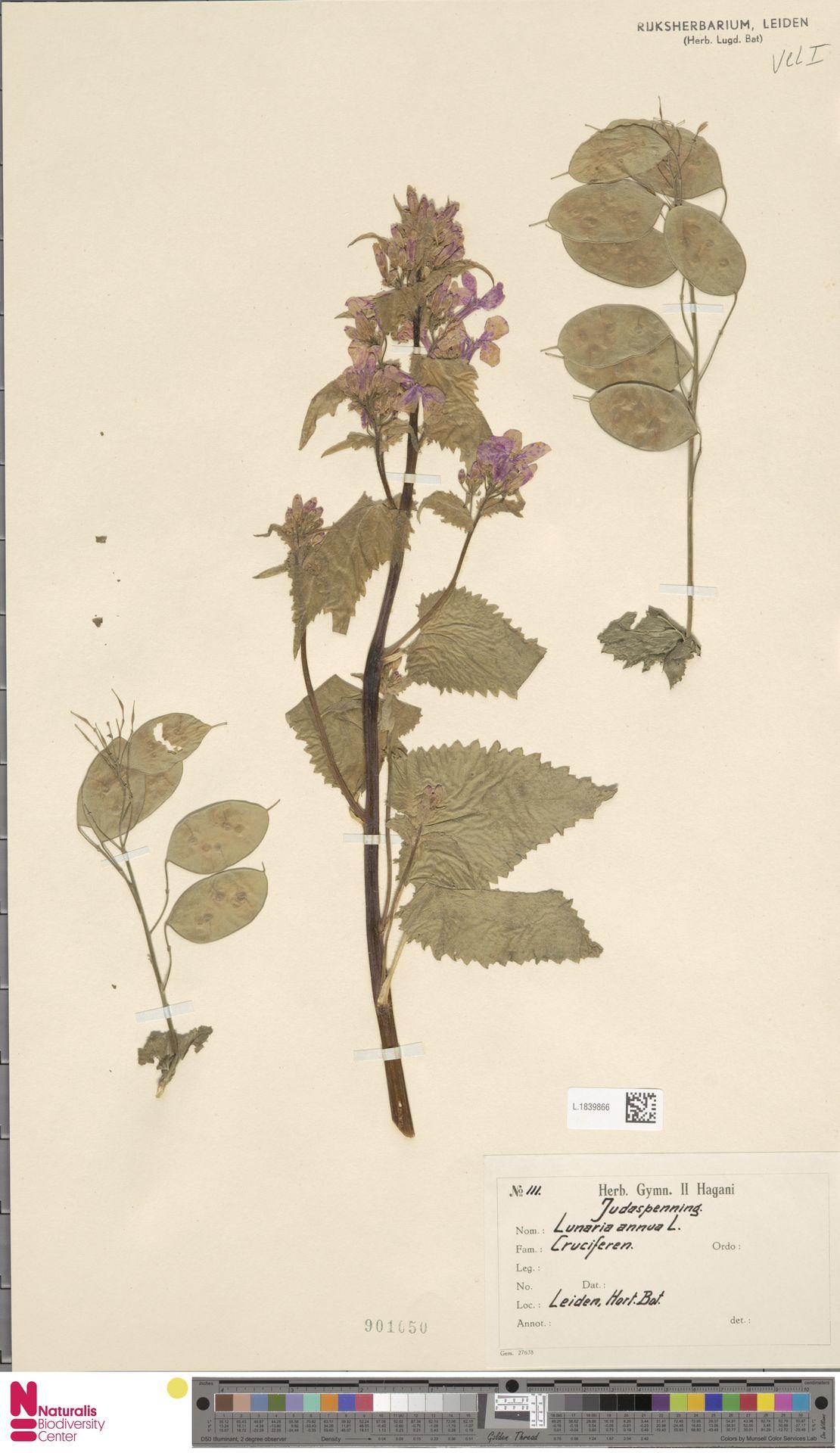 L.1839866 | Lunaria annua L.