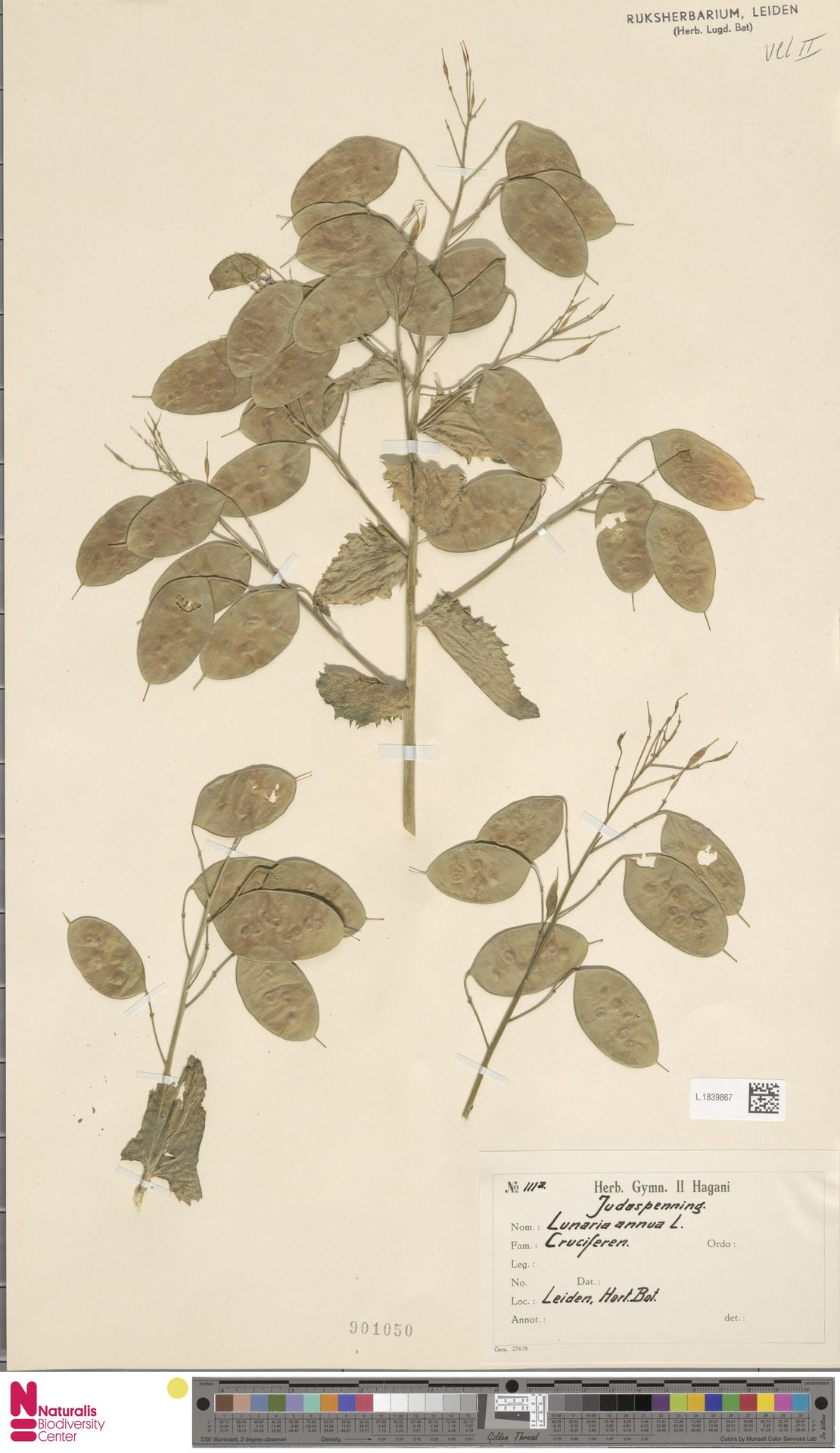 L.1839867 | Lunaria annua L.