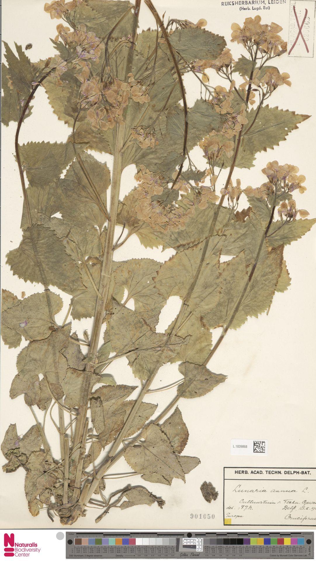 L.1839868 | Lunaria annua L.