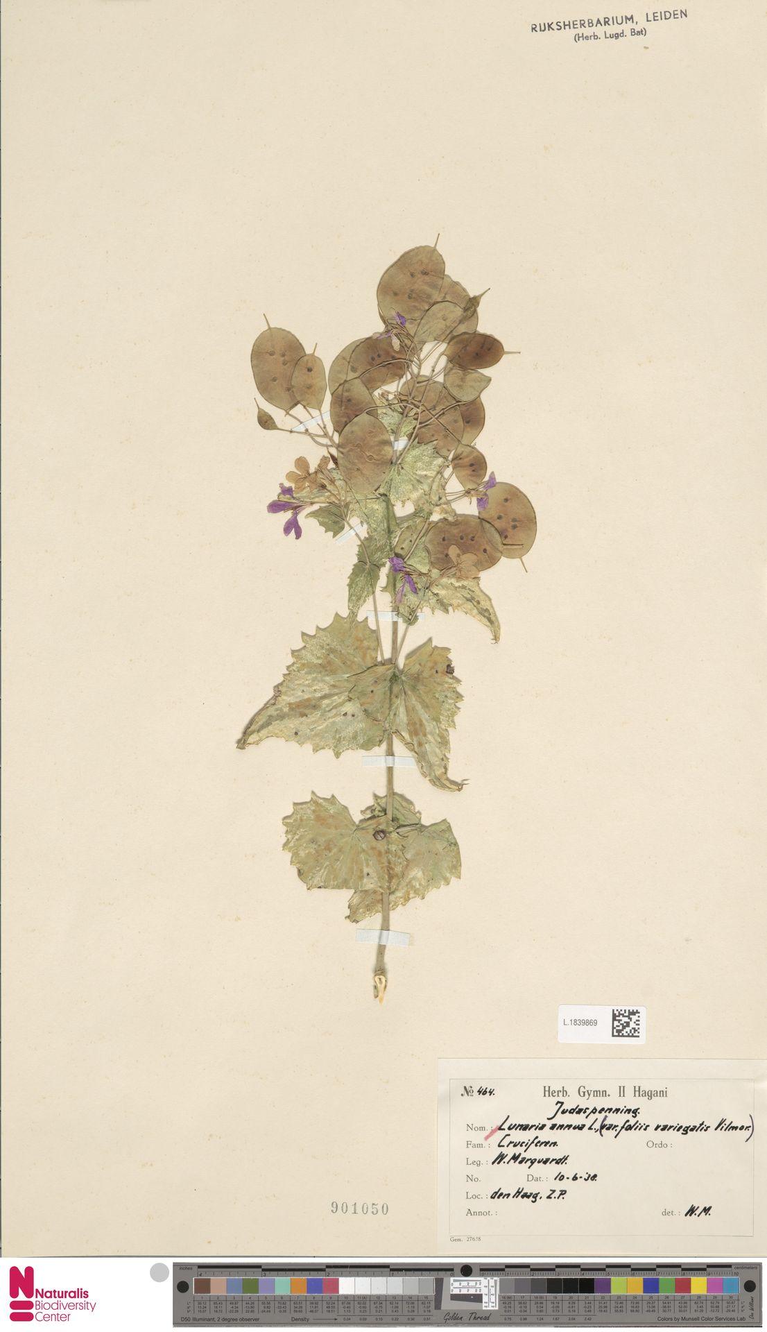 L.1839869 | Lunaria annua L.