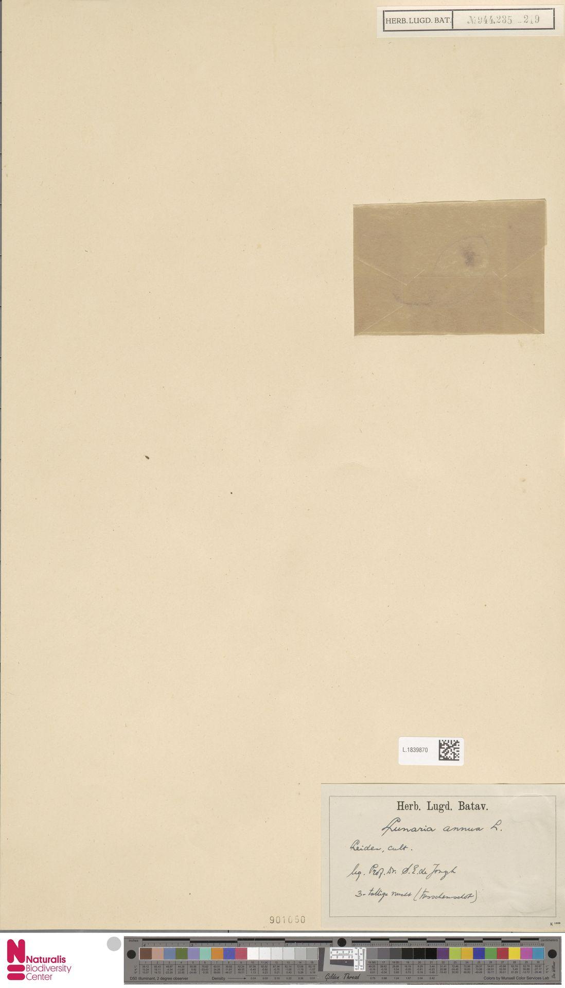 L.1839870 | Lunaria annua L.