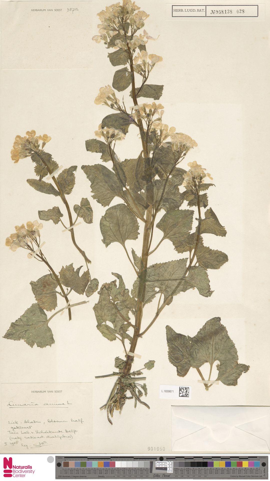 L.1839871   Lunaria annua L.