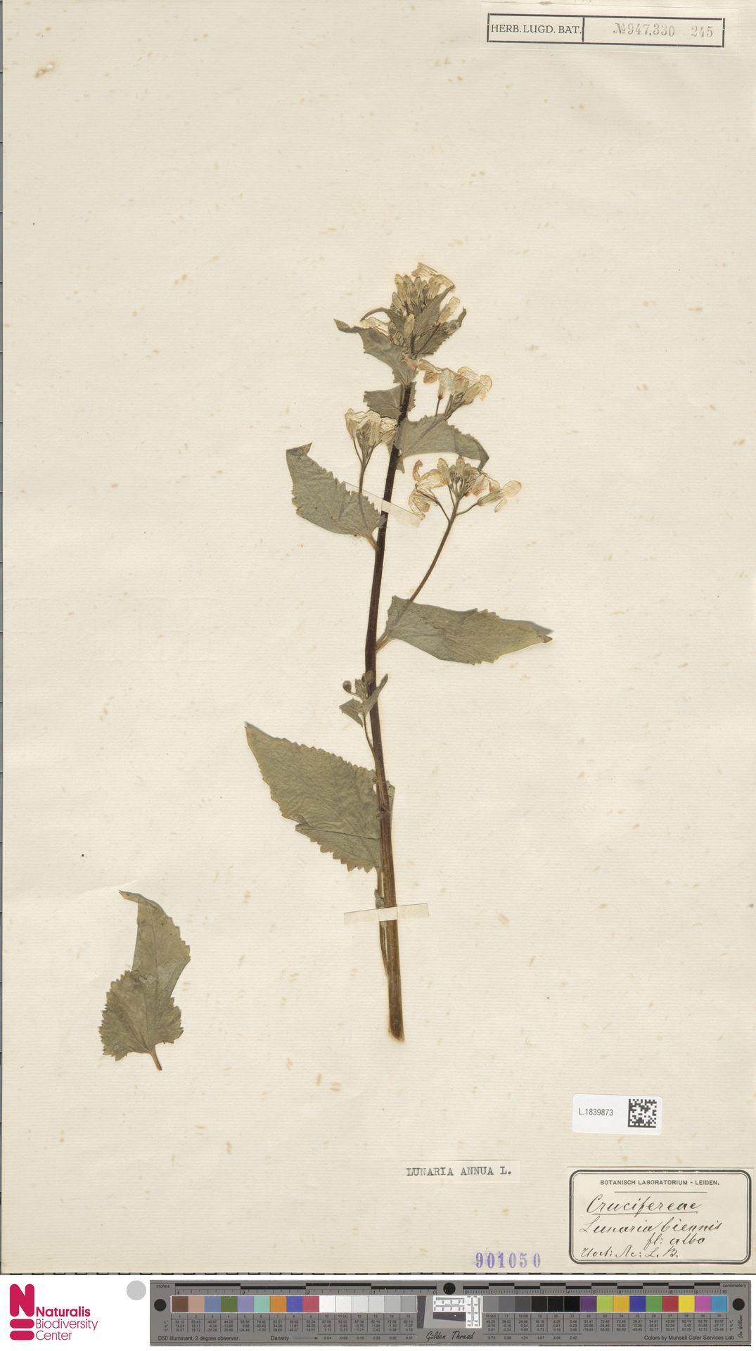L.1839873 | Lunaria annua L.