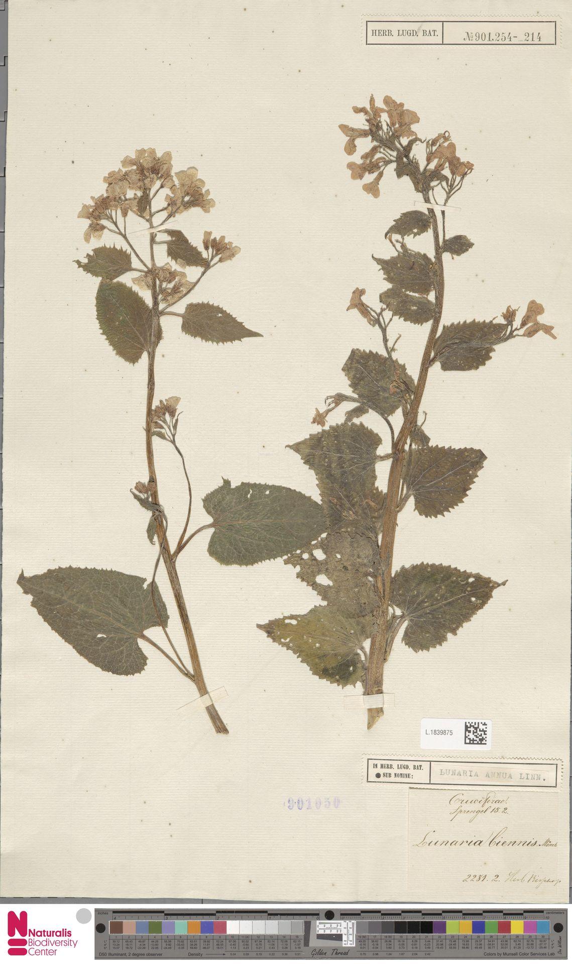 L.1839875 | Lunaria annua L.