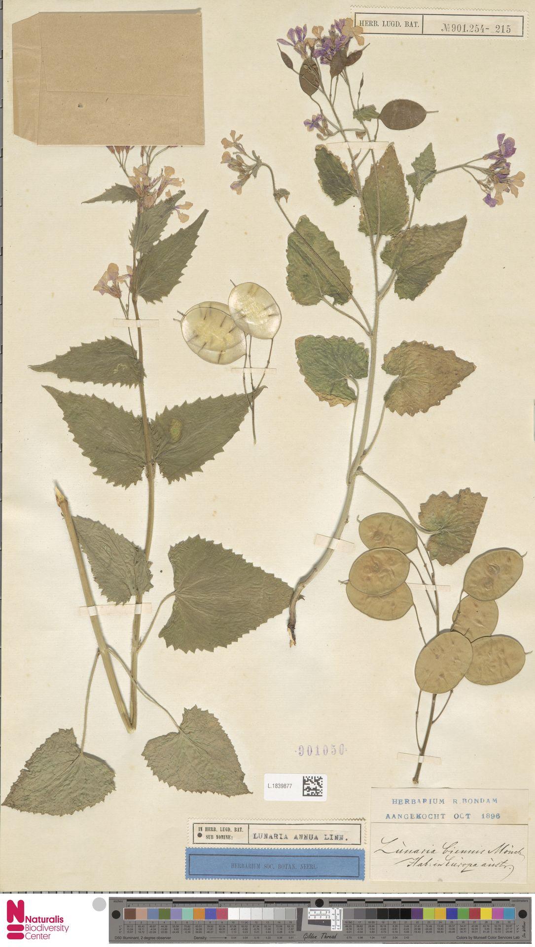 L.1839877 | Lunaria annua L.