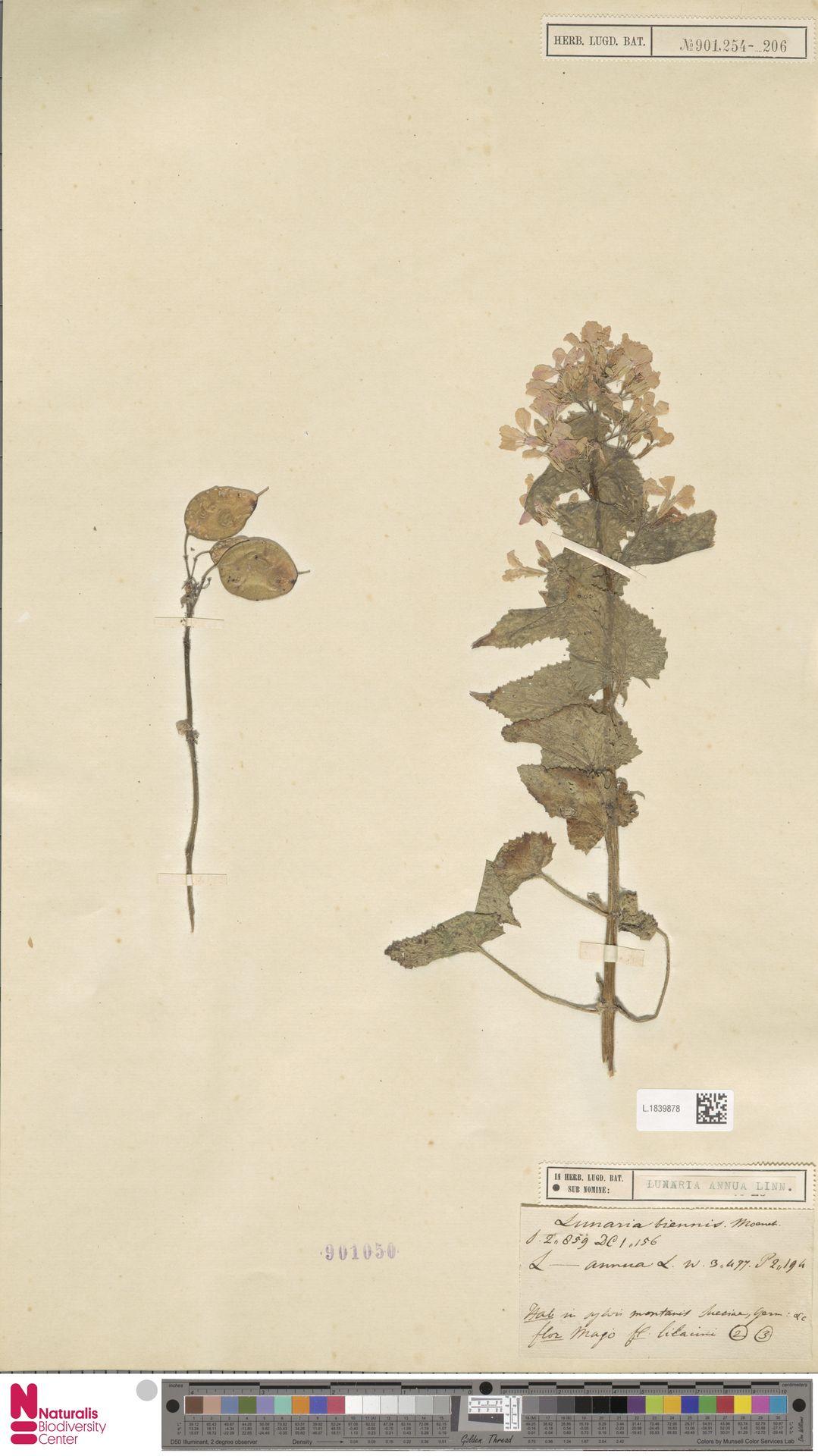 L.1839878 | Lunaria annua L.