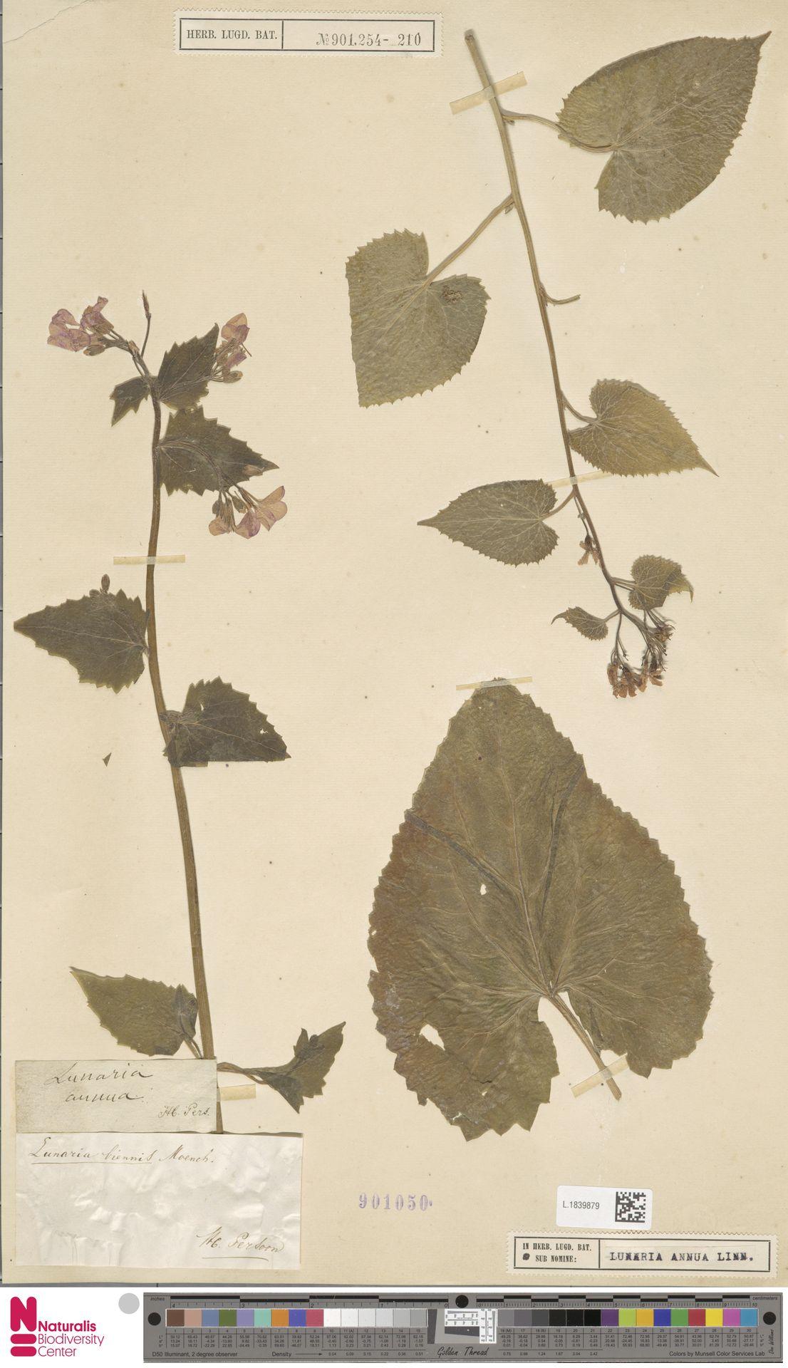L.1839879   Lunaria annua L.