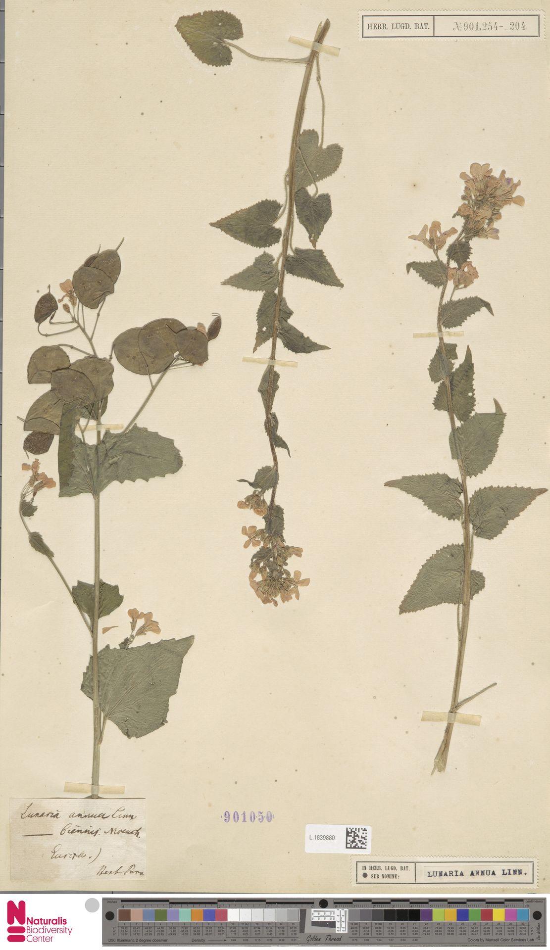 L.1839880 | Lunaria annua L.