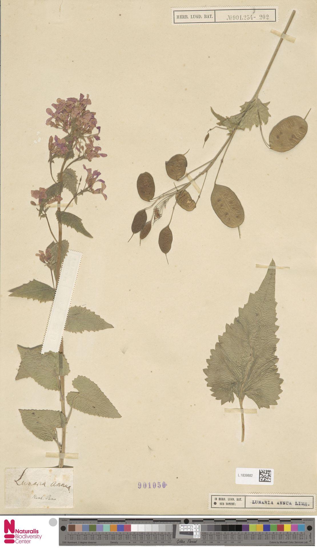 L.1839882 | Lunaria annua L.