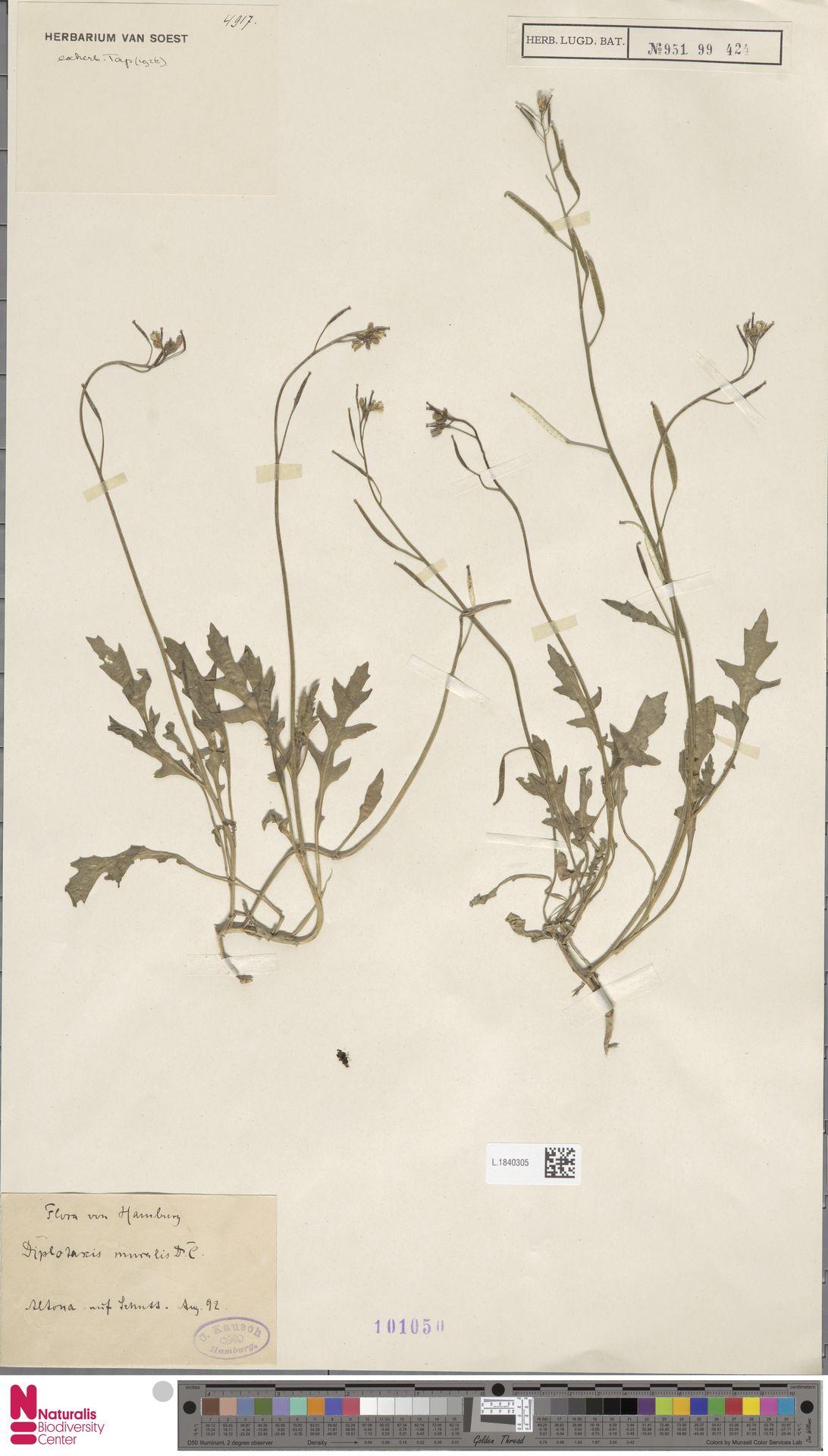 L.1840305   Diplotaxis muralis (L.) DC.